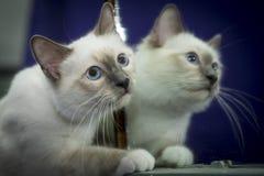 birman кот стоковые изображения