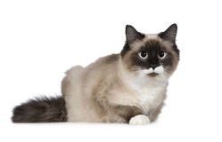 Birman (1 ano) Fotos de Stock Royalty Free