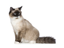 Birman (1 ans) Images stock