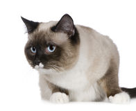 Birman (1 years) Royalty Free Stock Photos