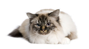Birman (2,5 years) Royalty Free Stock Photos