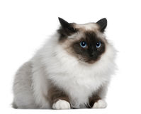 Birman (2 years old). In front of a white backgroung Royalty Free Stock Photos