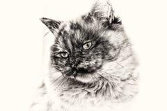 Κινηματογράφηση σε πρώτο πλάνο της γάτας Birman που κοιτάζει επίμονα το άσπρο διάστημα αντιγράφων lef Στοκ εικόνα με δικαίωμα ελεύθερης χρήσης