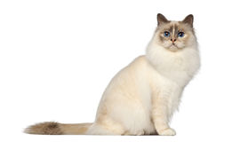 Birman, 9 months old, sitting Stock Images