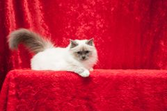 birman猫 免版税图库摄影