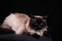 Birman breed of cat Stock Images