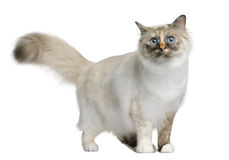 Birman cat, 11 months old Royalty Free Stock Photo