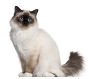 Birman cat, 11 months old, sitting Royalty Free Stock Images