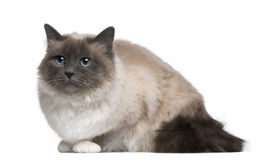Birman cat, 17 months old Royalty Free Stock Image