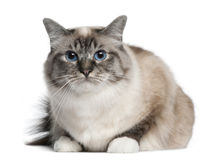 Birman cat, 2 years old, lying. In front of white background Stock Photos