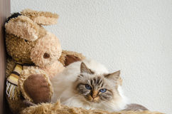 Birman cat. Lies down on a soft blanket next to a bear stock images