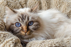 Birman cat. Lies down in a basket royalty free stock images