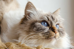 Birman cat. Laying down on a soft blanket royalty free stock images