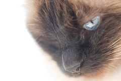 Free Birman Cat Royalty Free Stock Image - 4541536
