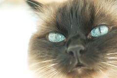 Birman cat. Ferocious birman cat portrait in powerful light Royalty Free Stock Images