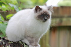 Birman Cat. The Birman, also called the Sacred Cat of Burma, is a domestic cat breed. The Birman is a long-haired, colorpointed cat distinguished by a silky coat Stock Images