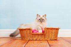 Birman cat in basket Stock Photography