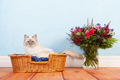Birman cat in basket Stock Photo