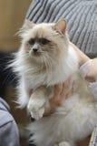 Birman cat being held Stock Image
