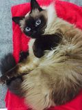 Birman cat Royalty Free Stock Photography