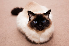 Birman cat on the carpet at home Royalty Free Stock Photography