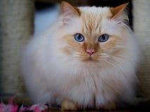 Birman cat. A cute brown Birman cat stock image