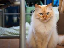 Birman cat. A cute brown Birman cat Royalty Free Stock Images