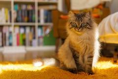 Birman cat. A cute brown Birman cat Royalty Free Stock Photography