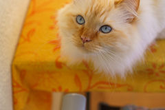 Birman cat. A cute brown Birman cat Stock Photo