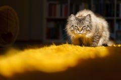 Birman cat. A cute brown Birman cat Royalty Free Stock Photos