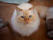 Birman cat. A cute brown Birman cat Stock Images