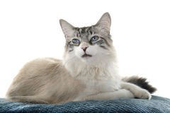 Birman cat Stock Image