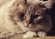 Birman cat headshot Stock Photography