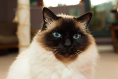 Birman cat at home Stock Photography
