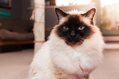 Birman cat at home on sunny day stock photography
