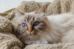 Birman cat. Lies down in a basket royalty free stock image
