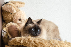 Birman cat. Lies down on a soft blanket royalty free stock image