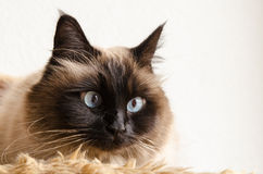 Birman cat. Lies down on a soft blanket royalty free stock photos