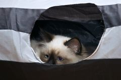A Birman Cat looking for mischief. A teal point Birman kitten, also known as the Sacred Cat of Burma. hiding in is play tunnel, waiting for some prey to walk Stock Photo