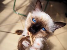Birman cat playing stock photo