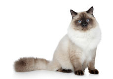 Birman cat portrait Royalty Free Stock Photography