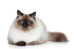 Birman cat portrait Stock Image