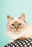 Birman cat Royalty Free Stock Images