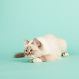 Birman cat Royalty Free Stock Image