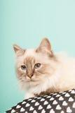 Birman cat Stock Photography