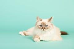 Birman cat Royalty Free Stock Image