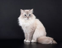 Birman Cat sitting Stock Images