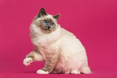 Birman cat sitting, looking back Royalty Free Stock Photography