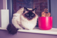 Birman cat sitting on windowsill with cactus Royalty Free Stock Photo