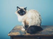 Birman cat sitting on a wooden desk Stock Photos